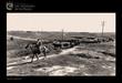 Traslado del ganado por el campo a finales de los cincuenta
